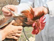 Как курице сделать укол 206