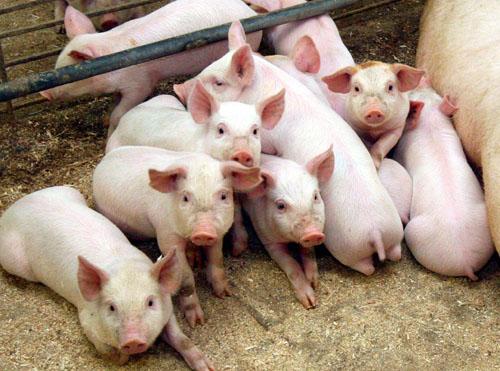 Из-за АЧС запрещен ввоз свиней из Смоленской и Псковской областей