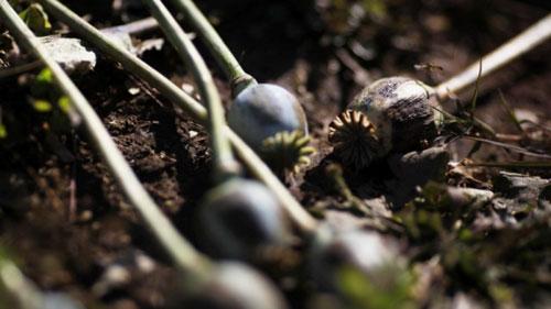 В Гомеле оперативники обнаружили склад с крупной партией семян мака