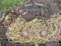Картофель сажать под зиму 61