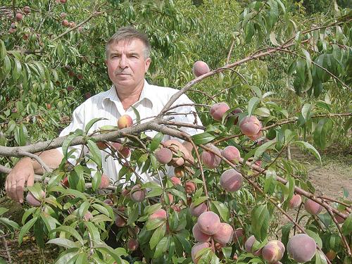 Когда лучше пересаживать персики