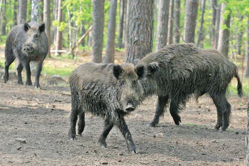Беларусь будет лечить диких животных с помощью ЕС