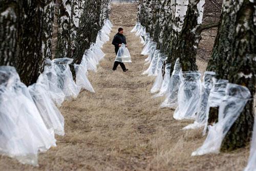 В Брестской области лесхозы готовятся к заготовке березового сока