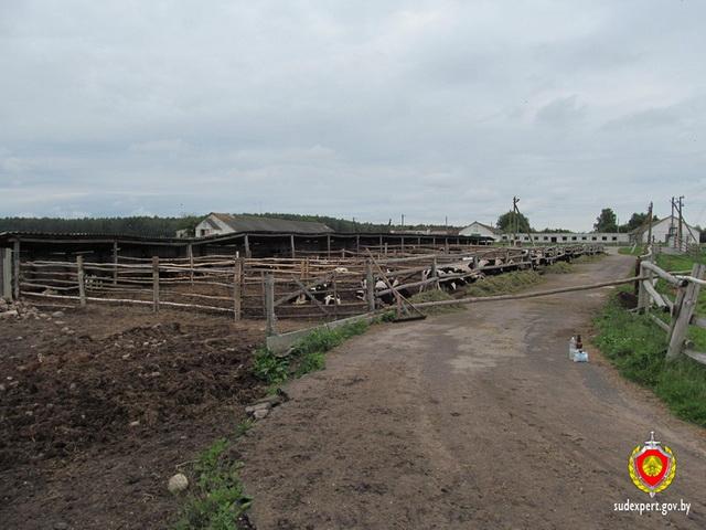 Ветврача изКлецкого района подозревают вкрупном хищении рогатого скота