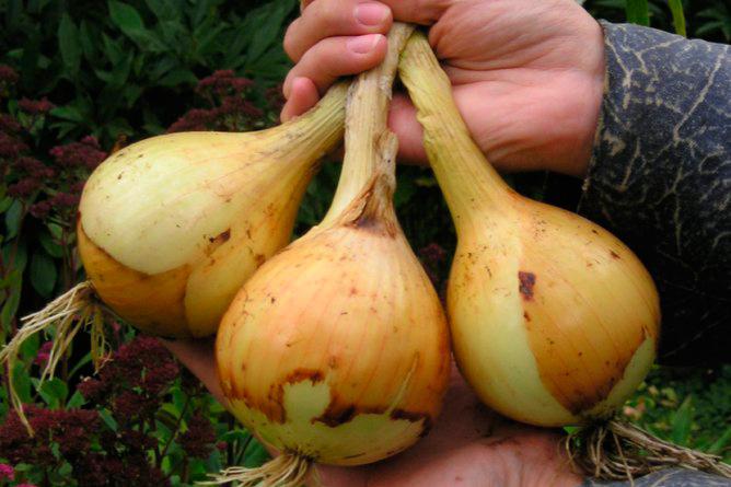 Выращивания лука всех сортов 984