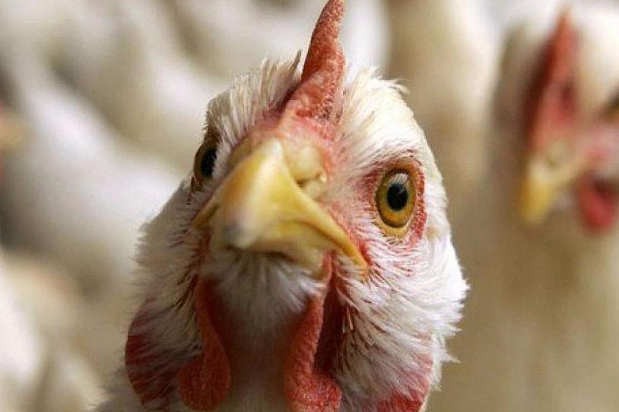 Роспотребнадзор предупредил о новоиспеченной  вспышке птичьего гриппа вевропейских странах