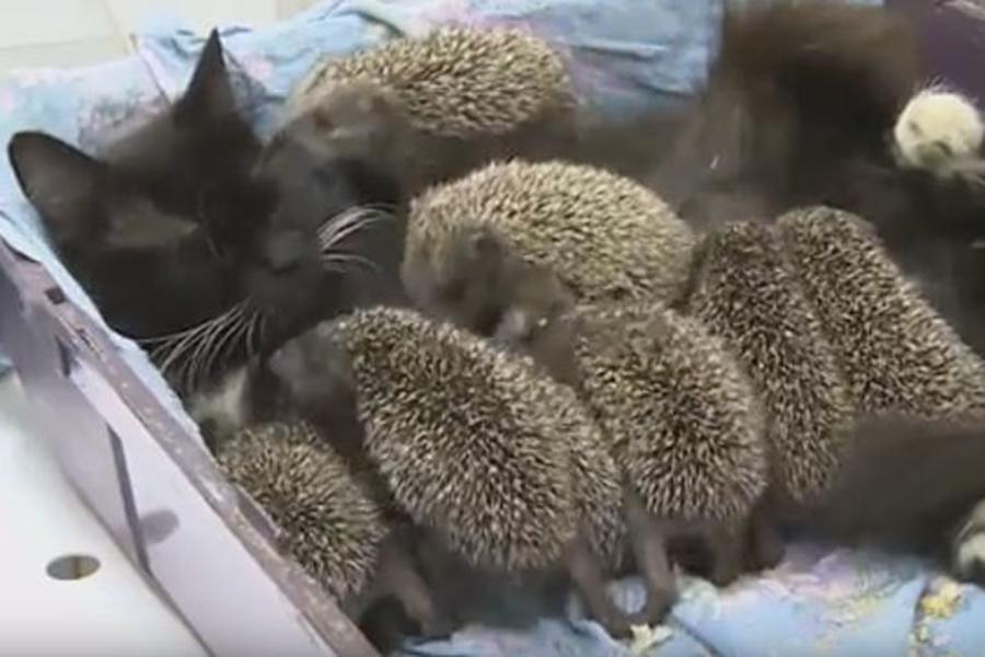 ВоВладивостоке кошка выкормила восемь ежат