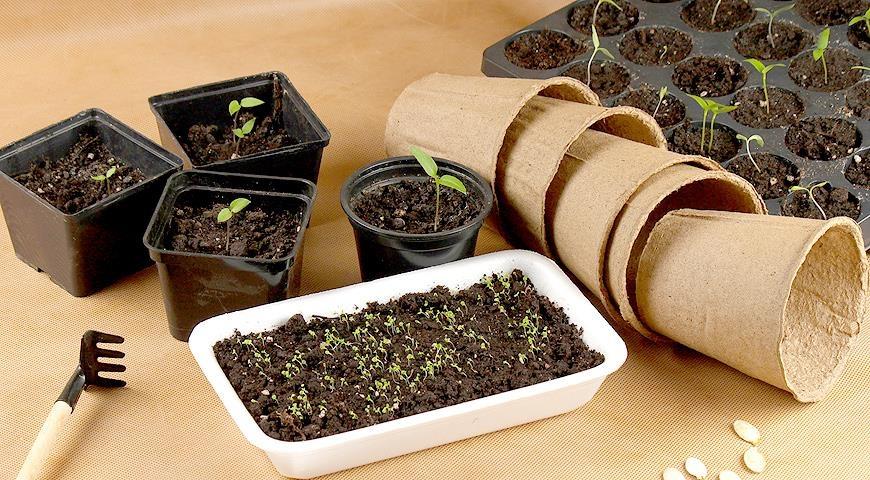 Как замочить семена для рассады 430