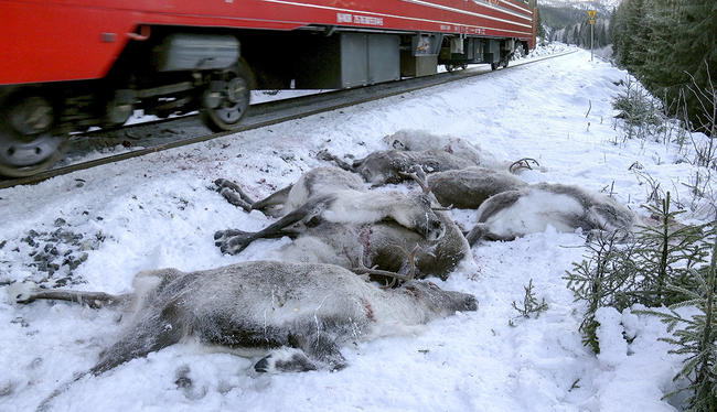 «Кровавая бойня». ВНорвегии грузовые поезда задавили 106 северных оленей