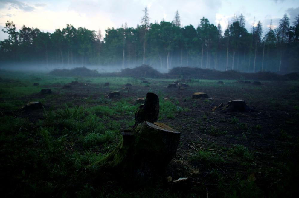 Польша прекратила вырубку Беловежской пущи