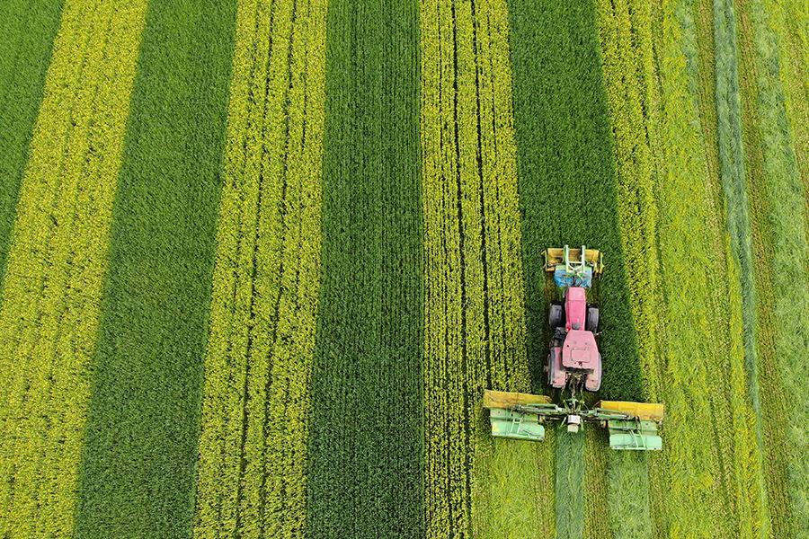 В Гродненской области активно заготавливают комбинированный силос из озимой ржи и сурепицы