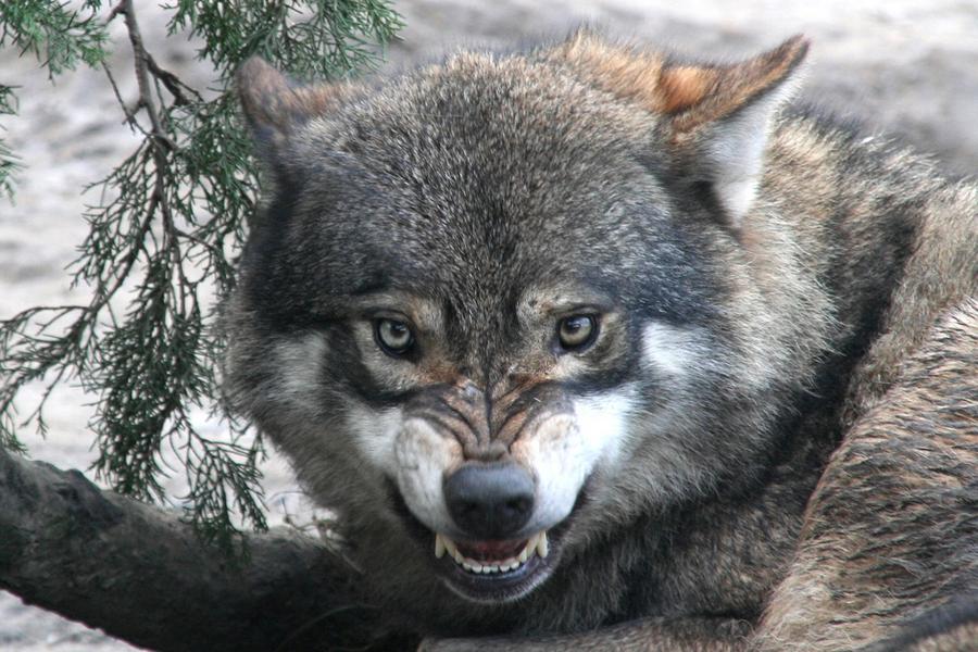 Картинки бегущая стая волков выходом