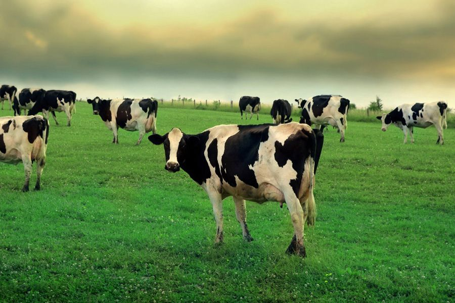 ВПружанском районе корова придавила своего погонщика вДТП