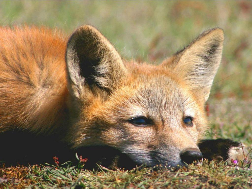Вдеревне под Столином ввели двухмесячный карантин из-за бешеной лисы