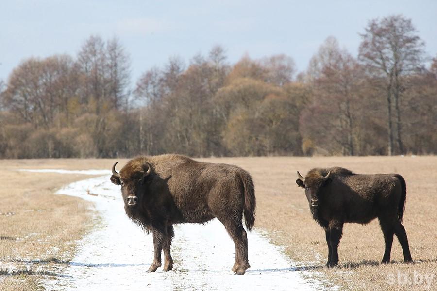 В Бресте судят браконьеров за охоту на зубра