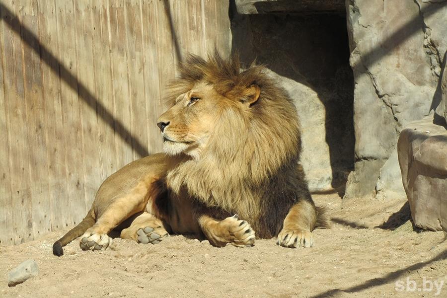 ВЯпонии лев напал насмотрителей питомника