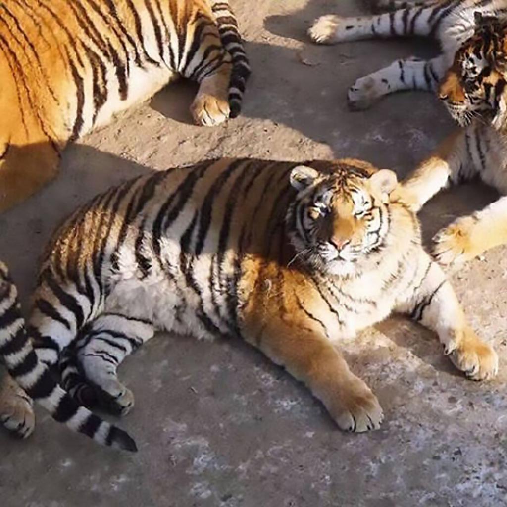 СМИ: в сети набирают популярность фотографии толстых тигров