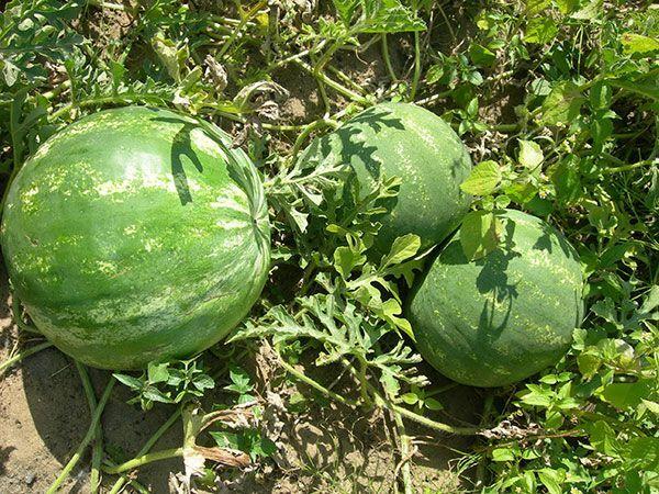 Выращивание арбузов в Беларуси
