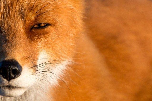Деревню вГродненском районе закрыли накарантин из-за лисы