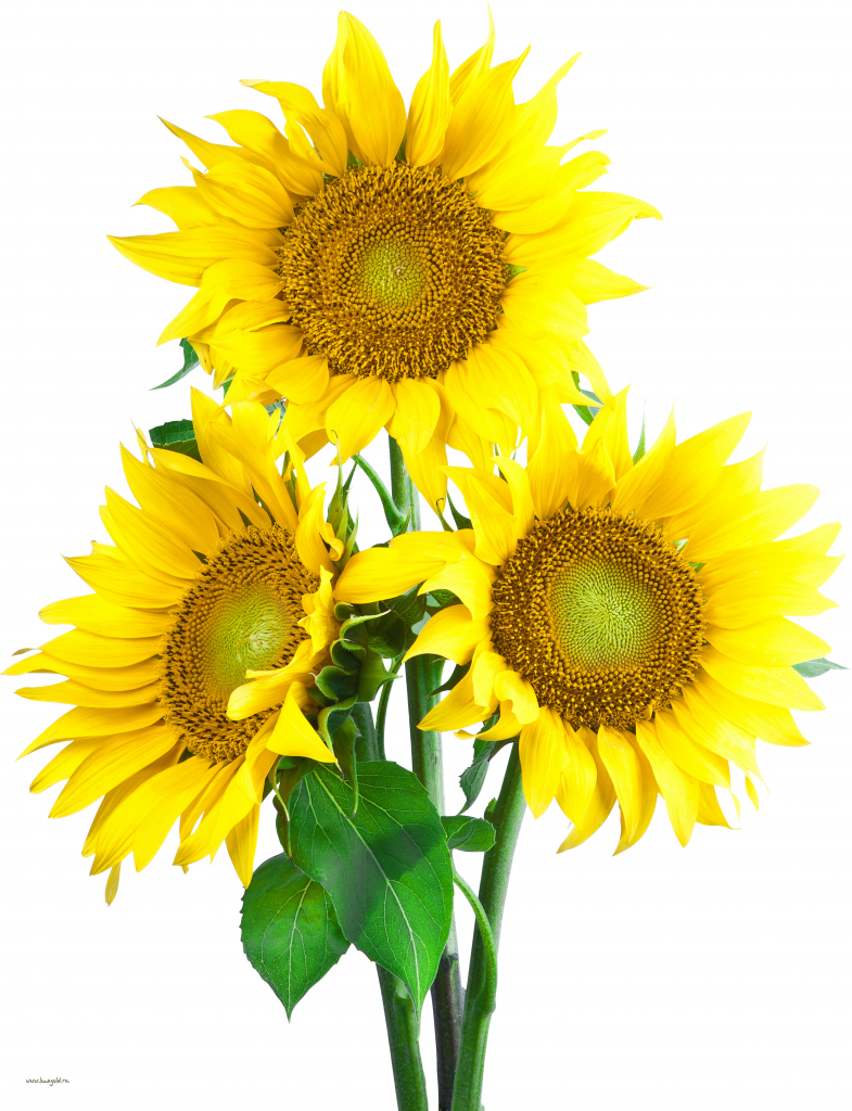 8-sunflower_PNG13366.jpg