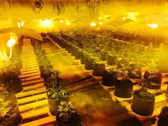 Гражданин Светлогорска выращивал надаче коноплю