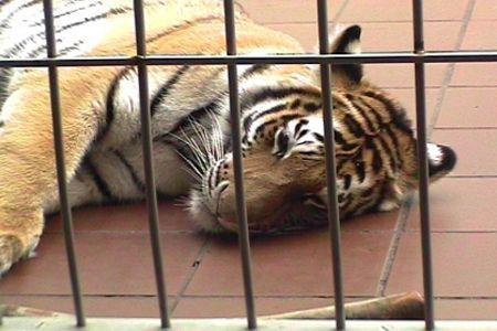 Астахов прокомментировал нападение тигра надевочку: награда Дарвина плачет