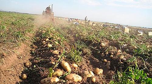 картофелем занято