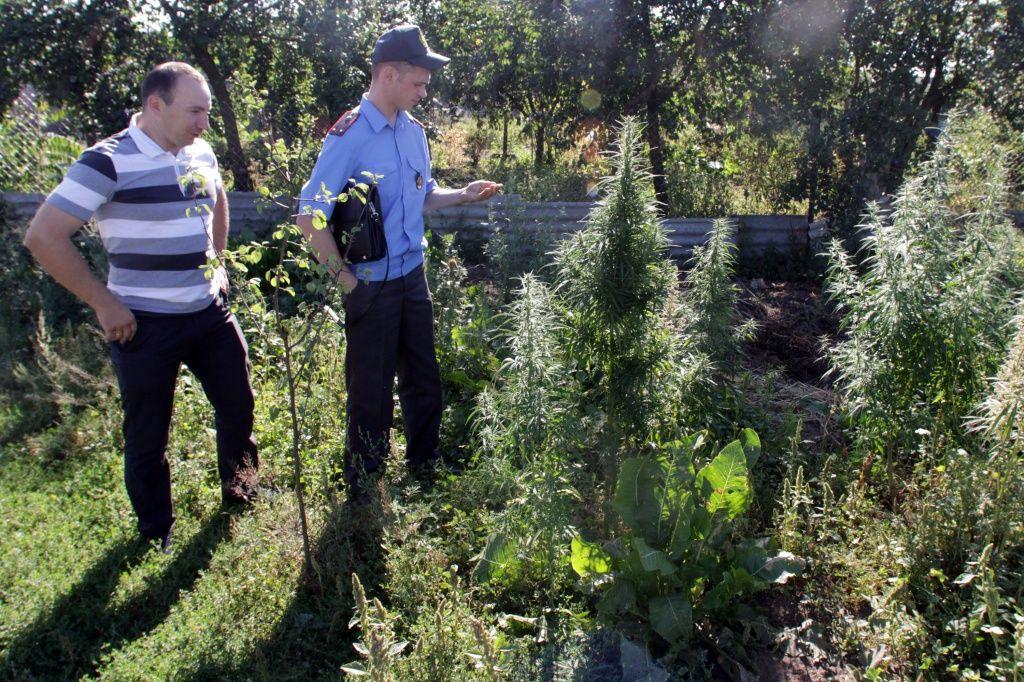 Коноплю в деревне несколько фактов о марихуане