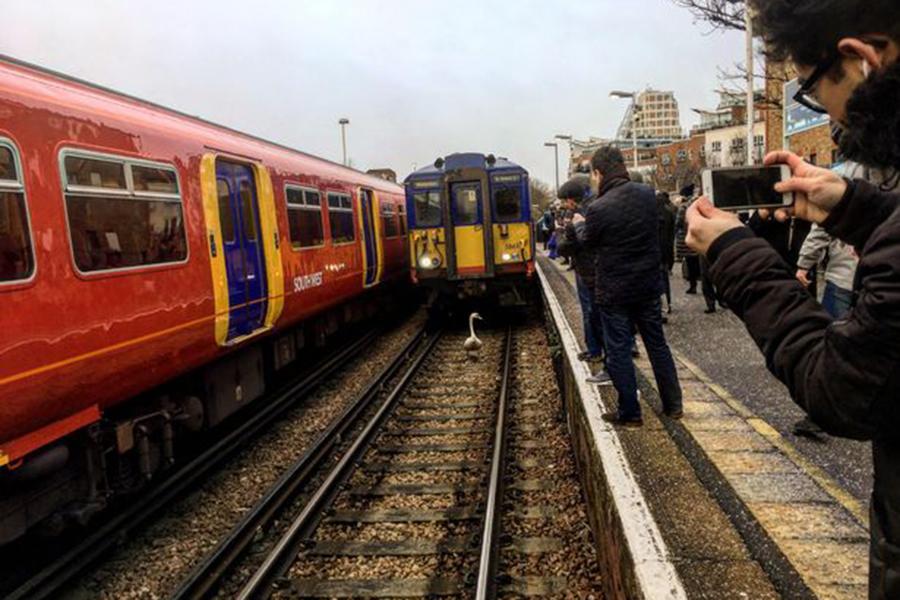 Гуляющий пожелезнодорожным путям лебедь задержал поезд встолице Англии
