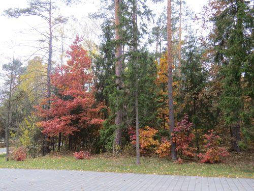 Красные дубы в Беловежской пуще. Фото — В.Козлович