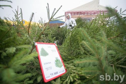 Белорусские лесхозы подготовили для населения 115 тыс. новогодних елей