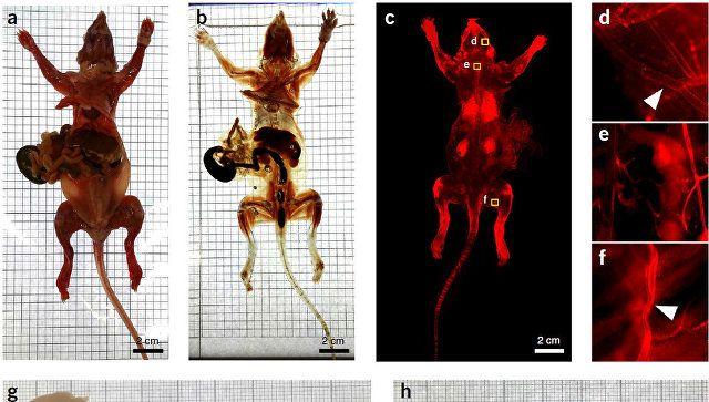 Ученым удалось сделать мышь на100% бесцветной