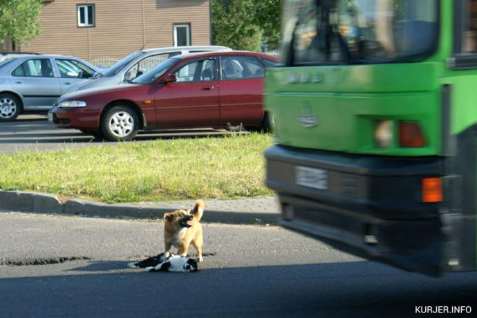 Собачка пробовала спасти сбитого кота вСлуцке