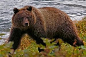 Охотника чуть не убил застреленный им же медведь