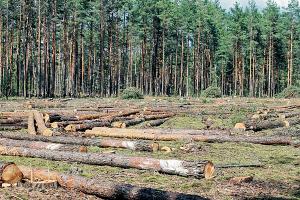 Короед атакует белорусские леса