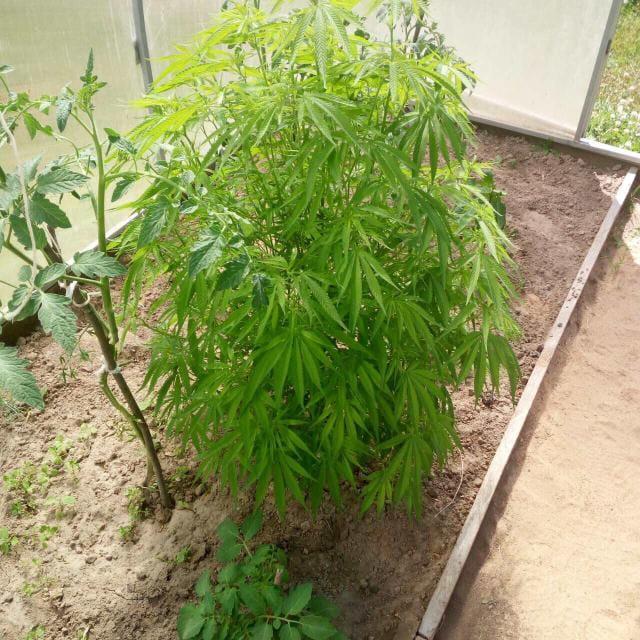 Как вырастить марихуану в парнике большое поле конопли