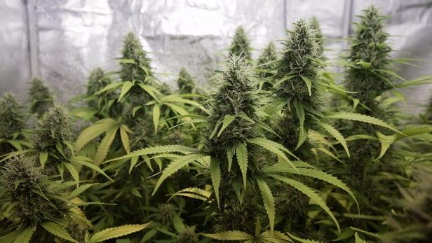 Конопля кусты какие препараты помогают вывести марихуану из организма