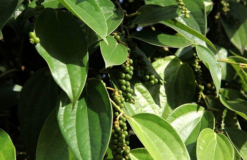 Как выращивать черный перец - Сам себе сад