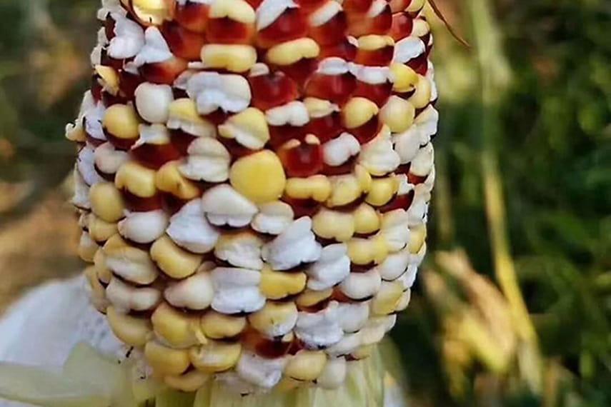 картинка кукурузы в жару этом