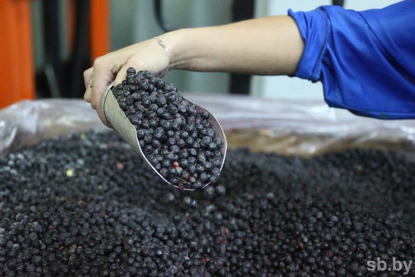 В Брестской области началась заготовка черники