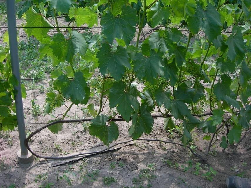 Что такое виноградник