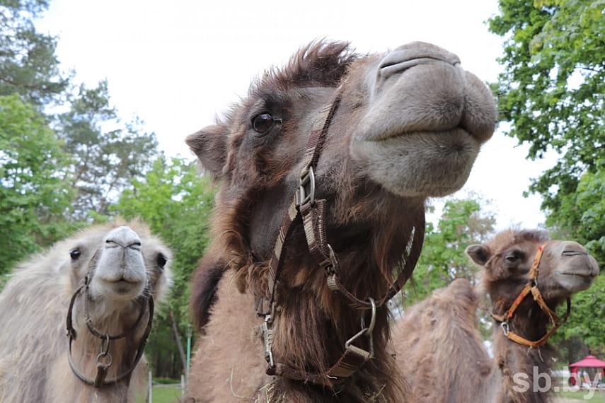 «Доходов нет, животных кормить надо» — цирк-шапито второй месяц живет в лесу под Брестом