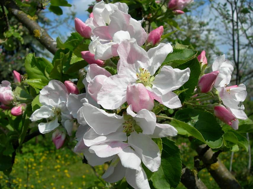 яблоня не плодоносит 5 лет что делать
